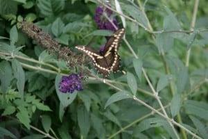 Giant Swallowtail in my garden near Keene (Rick Stankiewicz)