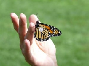tagged Monarch ready to be released