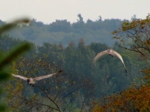 Cranes in flight (Gary Aitkens)