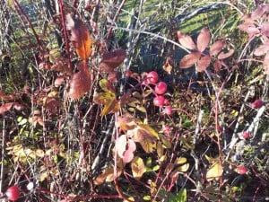 Rose (Multiflora?)