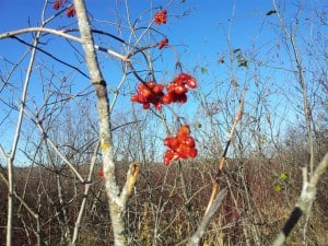 American High-bush Cranberry - numerous trees of this species along the trail