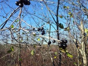European Buckthorn (blue/black berries)