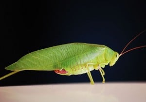 Common True Katydid (Wikimedia)