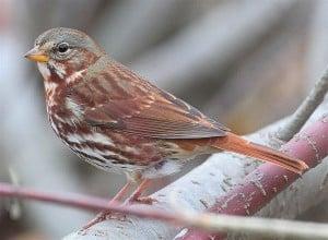 Fox Sparrow - Wikimedia