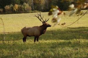 Elk - by John Morrit
