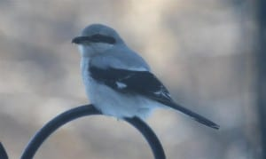 Northern Shrike (by Susan Sayer)