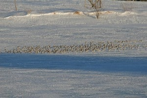 Flock of Snow Buntings in a winter field