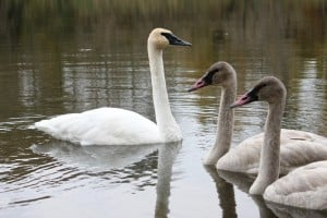 Trumpeter Swans in Bethany on October 14, 2012 (by Paul Anderson)