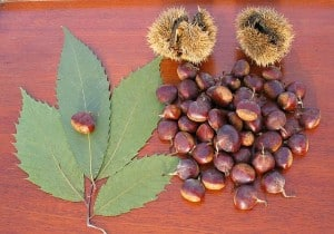 American Chestnut leaves and nuts (Wikimedia)