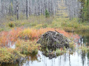 Beaver lodge south of  Lac Fourchette