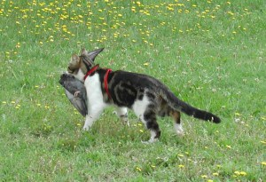 Cat carrying a bird it had just killed - Wikimedia
