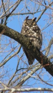 Great Horned Owl at Fleming Campus in Peterborough in December, 2008. (Drew Monkman photo)