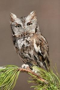 Eastern Screech Owl (Wikimedia)