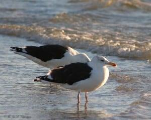 Great Black-backed Gull - adults (Karl Egressy)