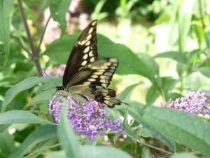 Giant Swallowtail in my garden on Sept. 8, 2013 (Drew Monkman)