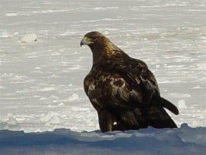 Adult Golden Eagle photographed at Petroglyph Provincial Park (Tim Dyson)