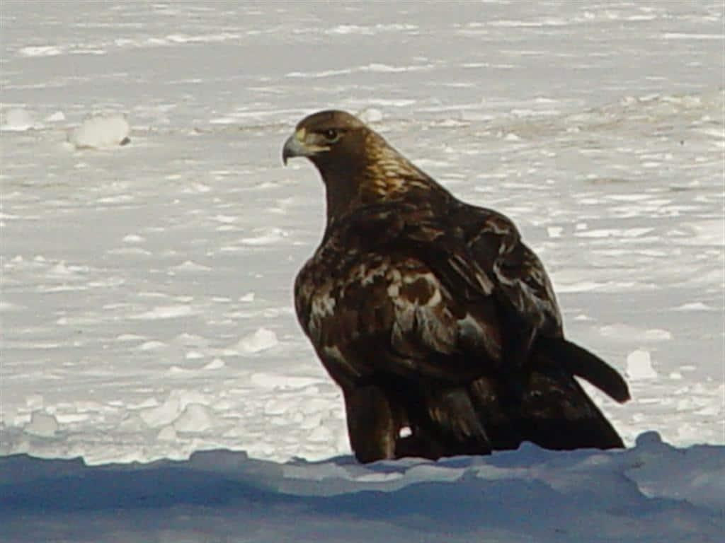 5d90946922c4 Golden Eagle photographed at Petroglyph Provincial Park (Tim Dyson)