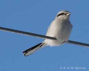 Northern Shrike (Karl Egressy)