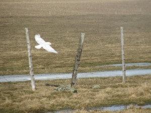 Snowy Owl in flight (Karin Laine)