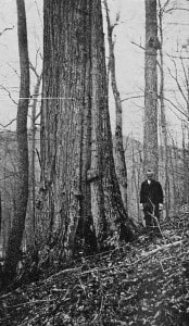 American Chestnut - Pennsylvania - 1914 (Wikimedia)