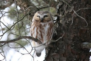 Northern Saw-whet Owl (Dave Heuft)