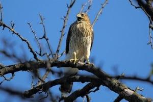 Immature Cooper's Hawk (by Greg Piasetzki)