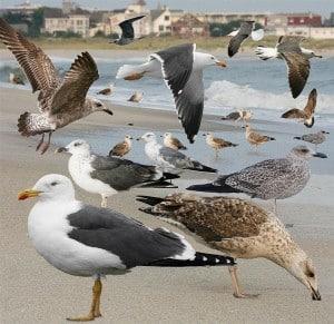 Lesser Black-backed Gull (various plumages)