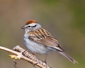 Chipping Sparrow - Karl Egressy