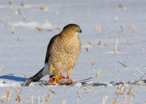 Adult Cooper's Hawk on kill  (Karl Egressy)
