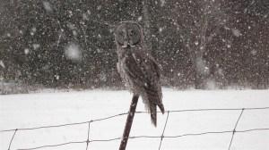 Great Gray Owl near Cavan in March 2012 - Frank Batty