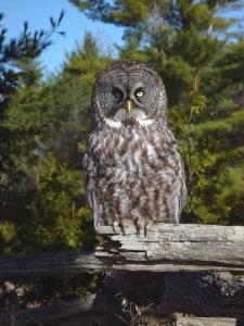 Great Gray Owl - Tim Dyson