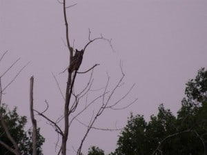 Great Horned Owl photographed earlier this year (Luke Berg)