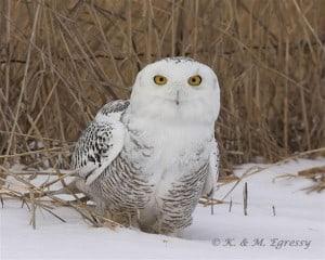 Snowy Owl (by Karl Egressy)