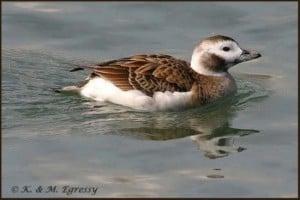Long-tailed Duck - female (Karl Egressy)