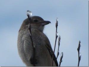 Northern Shrike (juvenile)  Dec. 27 2013 Peter Beales