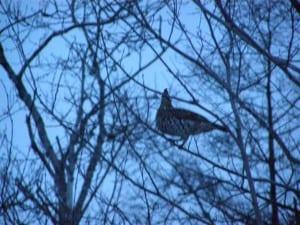 Ruffed Grouse on 2008 Christmas Bird Count