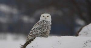 Chemong Road Snowy Owl  (Jeff Keller)