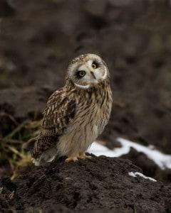 Short-eared Owl (Karl Egressy)