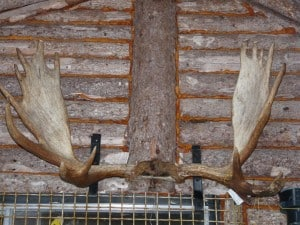 Moose antlers on outside wall of camp (Drew Monkman)