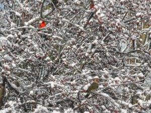 Cardinal and flicker (Sue Paradisis)