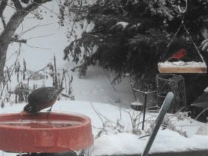 Robin and cardinal (Sue Paradisis)