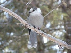 Gray Jay - Algonquin Park, January 2012