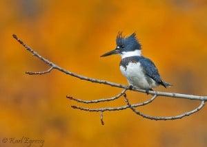 Belted Kingfisher (Karl Egressy)