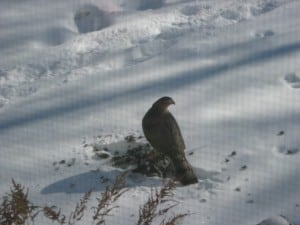 Cooper's Hawk on Rock Pigeon - Marg Byer