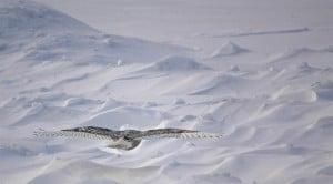 Chemong Road Snowy Owl in flight - Jeff Keller