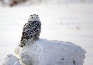 Chemong Road Snowy Owl  - Jeff Keller - Jan. 2014
