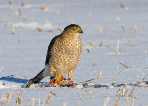 Cooper's Hawk on bird it had captured (Karl Egressy)