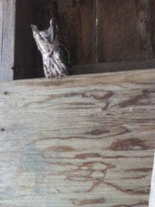 Eastern Screech-Owl in barn near Rice Lake (Marie Adamcryck)