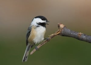 Black-capped Chickadee (Karl Egressy)