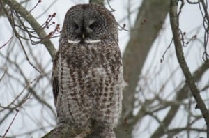Great Gray Owl - Tom Northey 2014